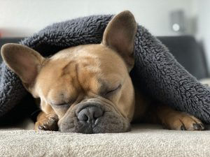 Dog sleeping under blanket