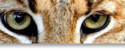 Wildcat Eyes-Close-Up