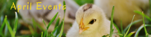 Yellow chick in green grass: April Events